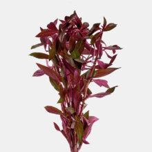 لودویجیا پرونسیس